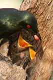 Asian Glossy Starlings