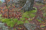 Moss on base of pine tree