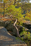 Leaning pine on Eagles nest