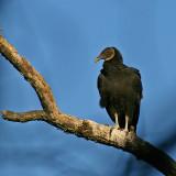 Black Vulture near Eagles nest