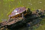 Turtles in Elkhorn Creek.
