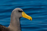 The Chatham Island Mollymawk Thalassarche eremita which is also known as the Chatham albatross, is one of two albatrosses in the world that is 'critically endangered' on the IUCN Red List. It only breeds on Pyramid Island, a small rock outcrop in the Chatham Islands.