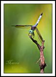 BLUE DASHER DRAGONFLY_0627a.jpg