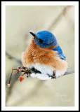 EASTERN BLUEBIRD_2665.jpg