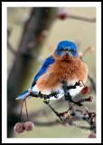 EASTERN BLUEBIRD_2655.jpg