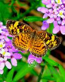 PEARL CRESCENT BUTTERFLY.jpg