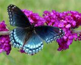 RED SPOTTED PURPLE ADMIRAL  2.jpg