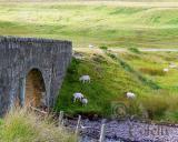 Scotland sheep.jpg