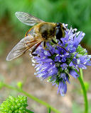 syrphid fly 6 .jpg