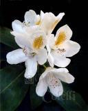 white rhodedendron7195