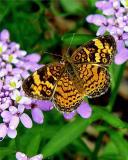 PEARL CRESCENT  BUTTERFLY 9487a .jpg