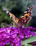 PAINTED LADY BUTTERFLY 0867 .jpg