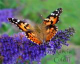 PAINTED LADY BUTTERFLY 0858 .jpg