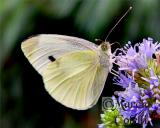 CABBAGE WHITE BUTTERFLY 0242 .jpg