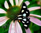 SPOTTED FORESTER MOTH 9372 .jpg