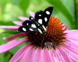 SPOTTED FORESTER MOTH 9377 .jpg