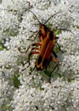 LOVE BUGS (lightening bugs)8484 .jpg