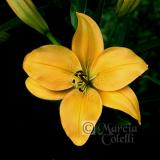YELLOW ASIATIC LILY 4469 .jpg
