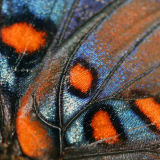 RED SPOTTED PURPLE ADMIRAL BUTTERFLY WING_0408 .jpg