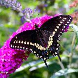 BLACK SWALLOWTAIL_0149 .jpg