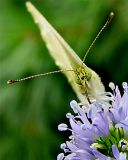 CABBAGE WHITE BUTTERFLY 0120_.jpg