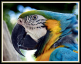 BLUE AND GOLD MACAW-0593.jpg