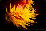 Orange cup coral.