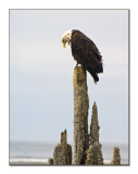 Bald Eagle_