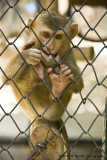 734_s_9113 small macaques.jpg