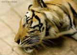 734_s_9198_tiger.jpg