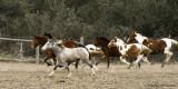 Wild mustangs running