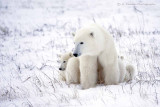 Mother Polar Bear with 2 10-month old cubs
