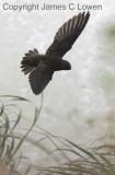 Great Dusky Swift