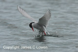 Antarctic Tern