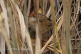 Bay-capped Wren-spinetail