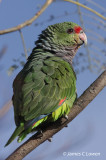 Vinaceous-breasted Parrot