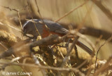 Rufous-bellied Saltator