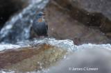 Rufous-throated Dipper