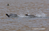 Giant and Horned Coot
