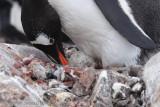 Gentoo Penguin incubating