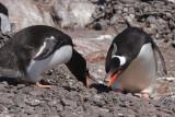 Gentoo Penguins displaying