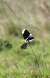 Black-and-white Monjita