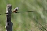 Marsh Seedeater