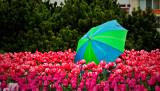 Une journée pluvieuse parmi les tulipes