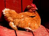 Chicken roasted