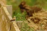 Black-eared wheatear