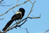 Eurasian magpie (sub.sp. mauritanicus)