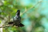 Blue-chested hummingbird