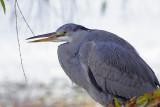 Heron On Regents Canal II