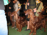 Setters at Westminster KC 2009